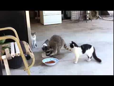 ein waschbaer isst katzenfutter youtube