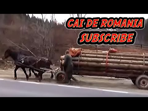 Caii lui Popa Catalin de la Prahova , trag caruta plina cu busteni de la padure !