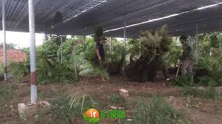 Trồng cây dương xỉ khủng