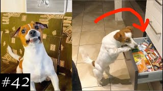 Jack Russell Terrier Compilation   Smiling & Stealing Treats