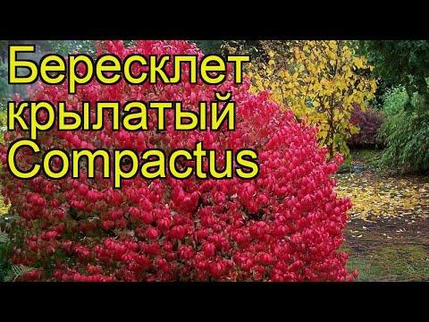 Бересклет крылатый Компактус (Compactus). Краткий обзор, описание характеристик, где купить саженцы