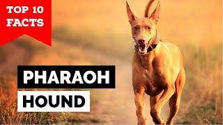 Pharaoh Hound  Top 10 Facts