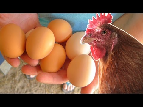 What to feed your chickens so they lay eggs year round.