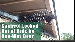 Squirrel Removal Example Using One Way Doors