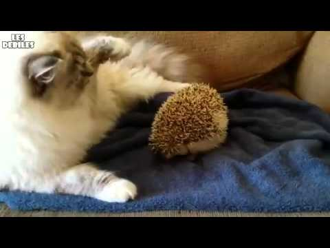 Cat puts her buttocks on a hedgehog