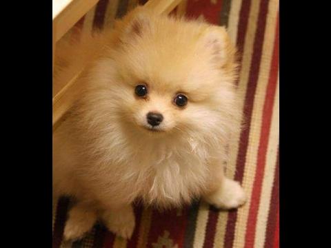 German Spitz: Pomeranian Puppies