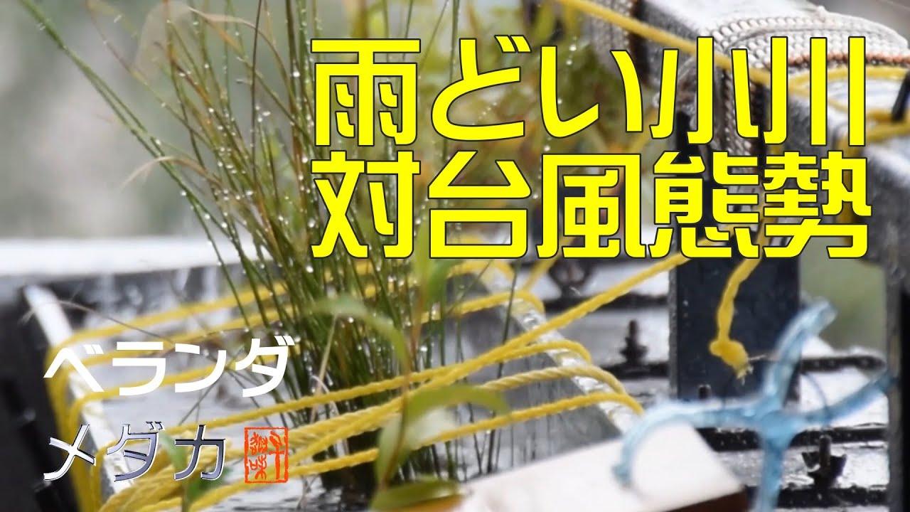 ベランダメダカ⑧~雨どい小川の対台風態勢