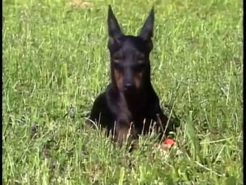 Manchester Terrier - AKC Dog Breed Series