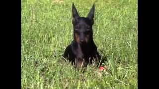Manchester Terrier  AKC Dog Breed Series