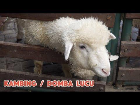 kambing-domba-lucu