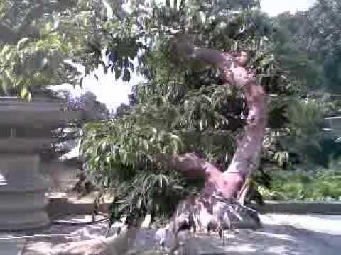Nghe thuat bonsai Yen Tu_Quang Ninh.flv