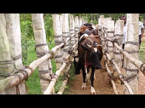 Success Story of Cow Farming in | Madurai | Tamilnadu in India 9659075424