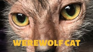 What are Werewolf cats and how much they do they cost