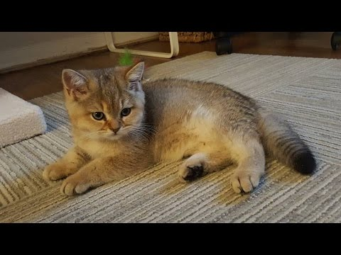 Hungry British Shorthair Kitten Meowing - Golden Black British Shorthair Kitten