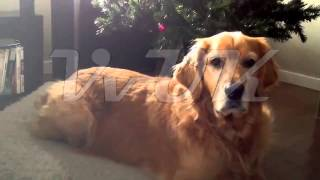 Viral Video Uk: Golden Retriever Perplexed By Recording Of Itself!