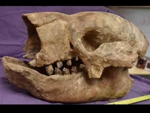Shasta Ground Sloth Skull   Northrotheriops shastensis   Ground Sloth Skull Fossil for Sale