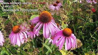 День первого цветка. Август. Эхинацея пурпурная