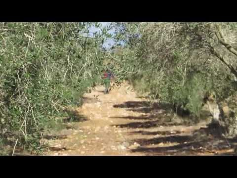 Israel, the Holy Land - an olive orchard, near Nazareth in the Galilee