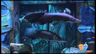 Arapaima Prehistoric Fish at the Lost Chambers Aquarium