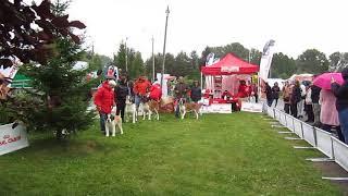 Дождь не помешал выставке собак в Бердске