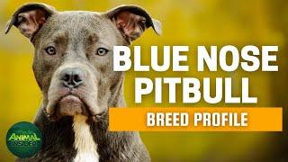 Blue Nose Pitbull Dog Breed Profile   Dogs 101 - Blue Nose Pitbull