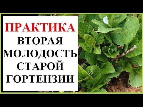 Как рассадить старый куст гортензии