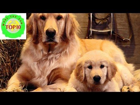 Top 10 Smartest Dog Breeds in the World - Top Ten Stuffs ...