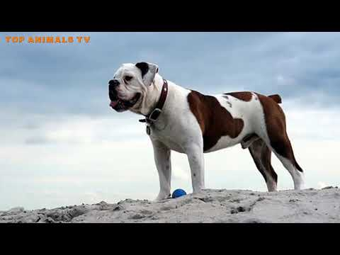 15 Dangerous Bulldog Breeds You Didn't Know About
