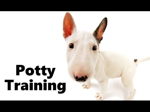 How To Potty Train A Bull Terrier Puppy Bull Terrier House