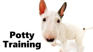 How To Potty Train A Bull Terrier Puppy - Bull Terrier House Training Tips - Bull Terrier Puppies