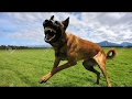Belgian Malinois Master of Protection World Class K9 [Mr Friend]