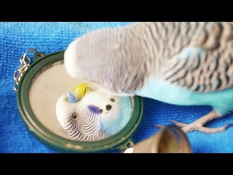 Mirror, good or bad for Budgie/Parakeet?