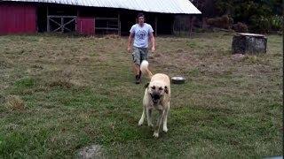 Funny Kangal Dog and man playing