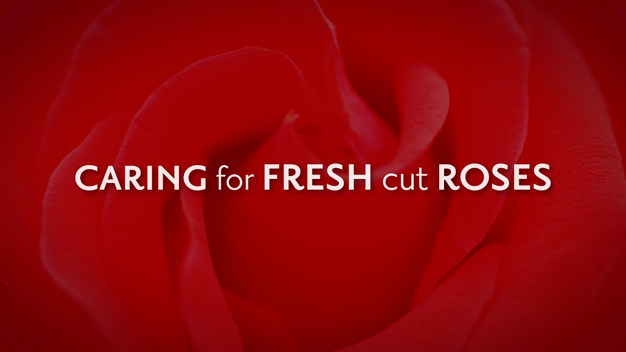 how to keep cut roses alive longer