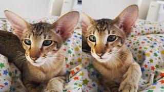 GORGEOUS ORIENTAL CATS