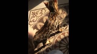 Бенгальский котенок, розетка на золоте