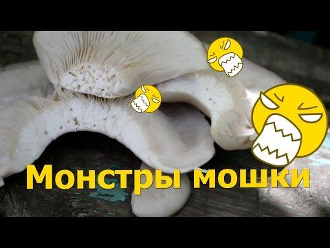 какими должны быть грибы вешенки