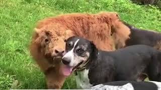Baby cow was rejected by its herd, so he become a dog