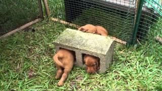 I Love How They Run Golden Irish Puppies