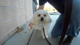 Havachon havanese bichon silk senior dog.