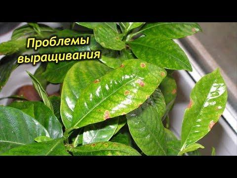 Сложности выращивания Гардении. Вредители, болезни и методы борьбы с ними.