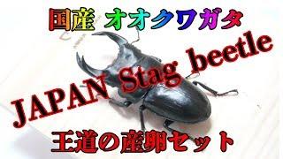 国産 オオクワガタ 産卵セット 組み方 奈良輪本家 川西 Stag beetle クワガタ thumbnail