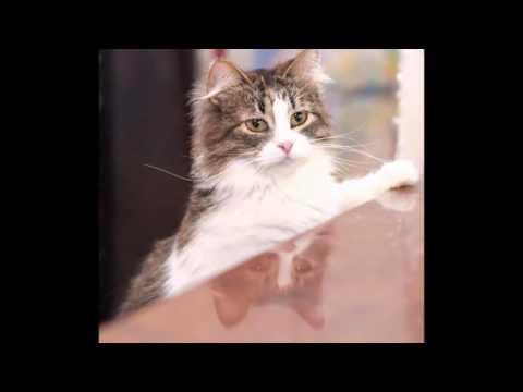 breed history ragamuffin cat cats