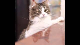 breed history ragamuffin cat cats