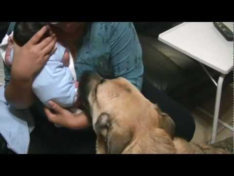 German Shepherd Dogs Meeting a Baby