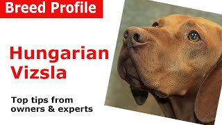 Hungarian Vizsla Dog Breed Guide