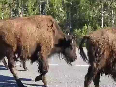 Bison Buffaloes in Yellowstone grooving to the music , turn up volume!