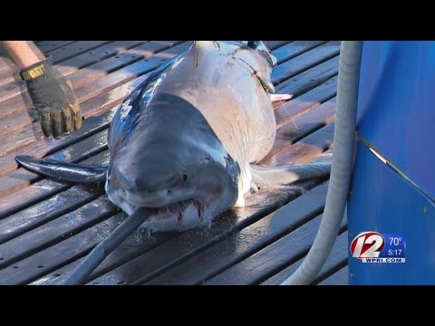 Researchers tag first male great white in North Atlantic
