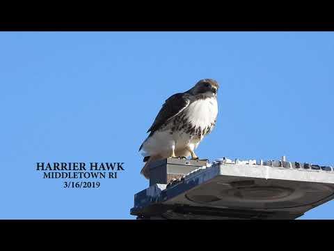 Hawk In Middletown RI