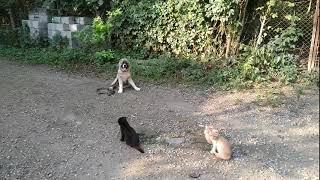 Средне азиатская овчарка 3,5мес Буч железная выдержка с котами!
